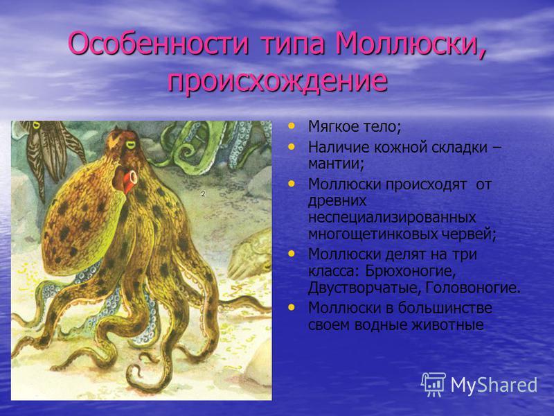 Особенности типа Моллюски, происхождение Мягкое тело; Наличие кожной складки – мантии; Моллюски происходят от древних неспециализированных многощетинковых червей; Моллюски делят на три класса: Брюхоногие, Двустворчатые, Головоногие. Моллюски в больши