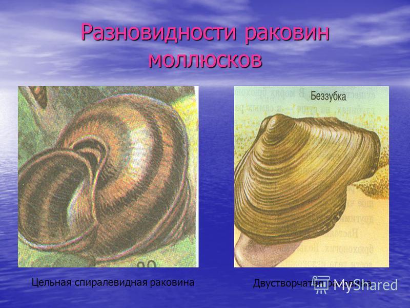 Разновидности раковин моллюсков Двустворчатая раковина Цельная спиралевидная раковина
