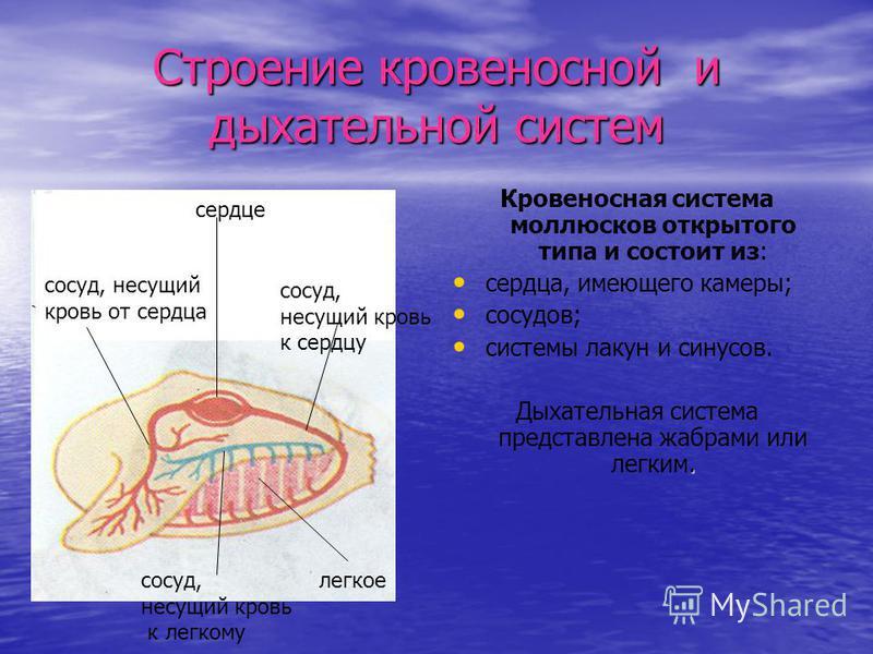 Строение кровеносной и дыхательной систем Кровеносная система моллюсков открытого типа и состоит из: сердца, имеющего камеры; сосудов; системы лакун и синусов.. Дыхательная система представлена жабрами или легким. сердце сосуд, несущий сосуд, несущий