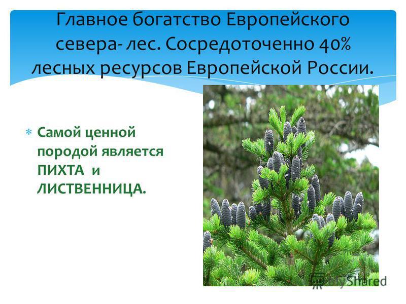 Самой ценной породой является ПИХТА и ЛИСТВЕННИЦА. Главное богатство Европейского севера- лес. Сосредоточенно 40% лесных ресурсов Европейской России.
