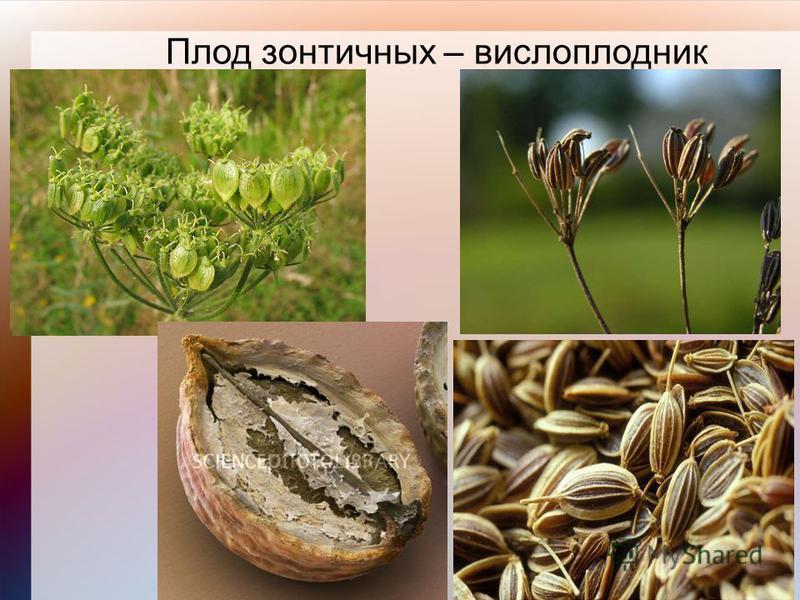 Плод зонтичных – вислоплодник