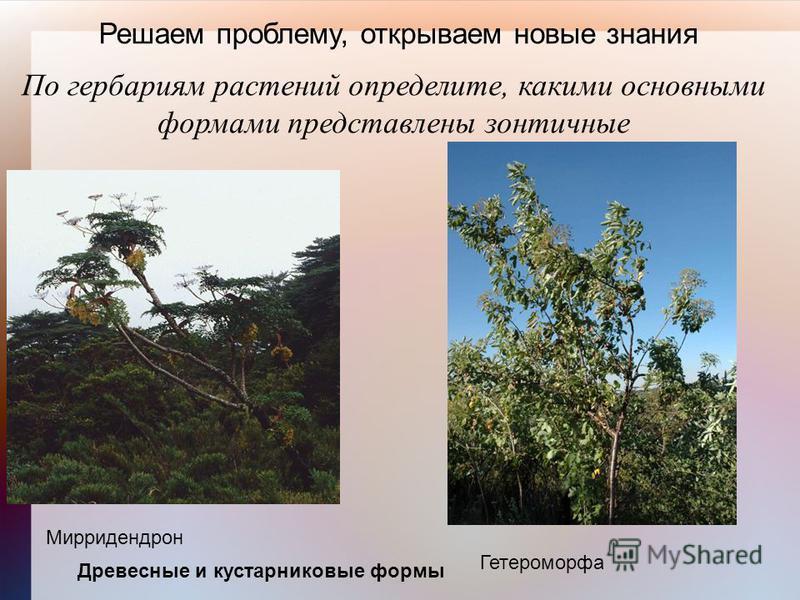 Решаем проблему, открываем новые знания По гербариям растений определите, какими основными формами представлены зонтичные Древесные и кустарниковые формы Мирридендрон Гетероморфа