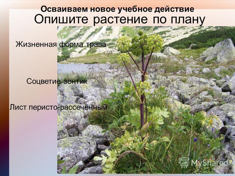 Осваиваем новое учебное действие Опишите растение по плану Жизненная форма трава Лист перисто-рассечённый Соцветие зонтик