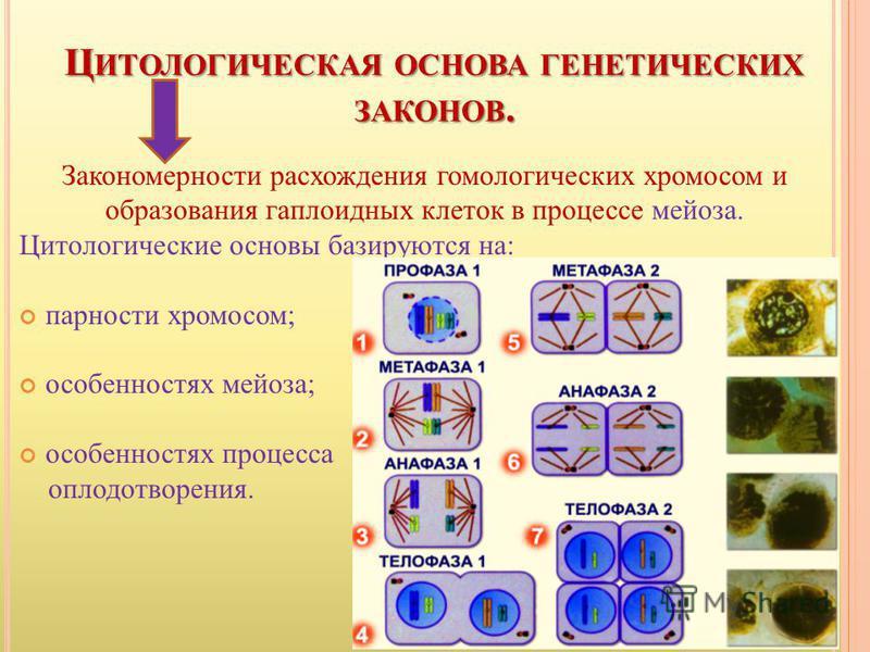 Ц ИТОЛОГИЧЕСКАЯ ОСНОВА ГЕНЕТИЧЕСКИХ ЗАКОНОВ. Закономерности расхождения гомологических хромосом и образования гаплоидных клеток в процессе мейоза. Цитологические основы базируются на: парности хромосом; особенностях мейоза; особенностях процесса опло