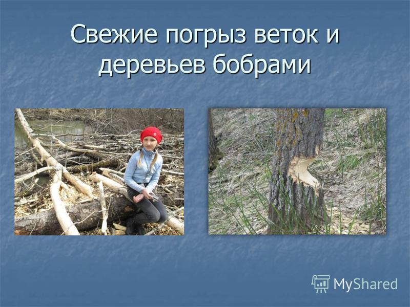 Свежие погрыз веток и деревьев бобрами