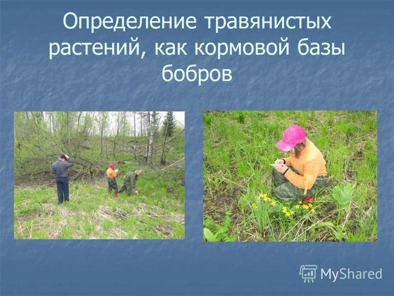 Определение травянистых растений, как кормовой базы бобров
