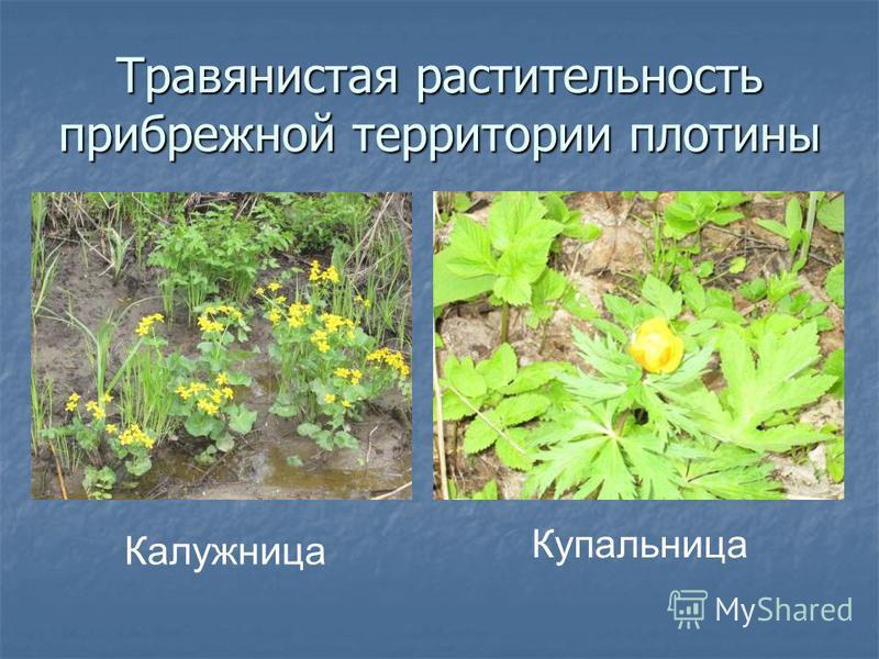 Травянистая растительность прибрежной территории плотины Калужница Купальница