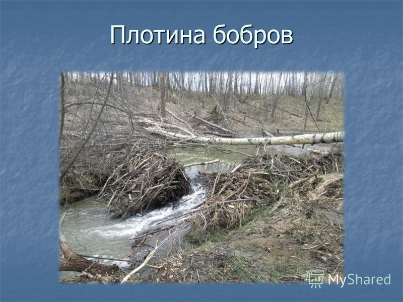 Плотина бобров
