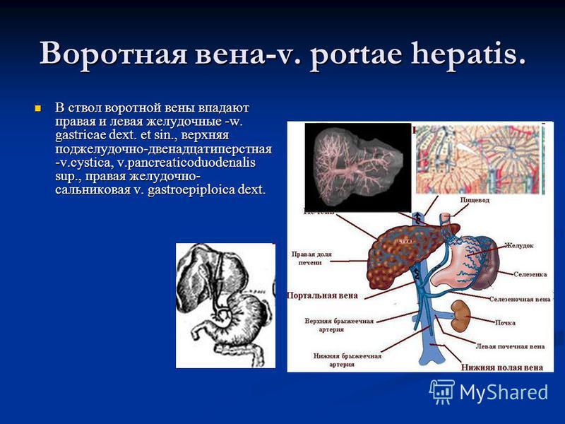 Воротная вена-v. portae hepatis. В ствол воротной вены впадают правая и левая желудочные -w. gastricae dext. et sin., верхняя поджелудочно-двенадцатиперстная -v.cystica, v.pancreaticoduodenalis sup., правая желудочно- сальниковая v. gastroepiploica d