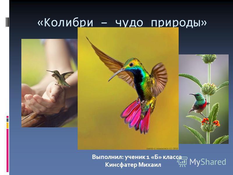 «Колибри – чудо природы» Выполнил: ученик 1 «Б» класса Кинсфатер Михаил