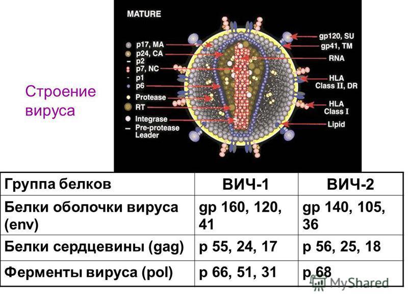 Группа белков ВИЧ-1ВИЧ-2 Белки оболочки вируса (env) gp 160, 120, 41 gp 140, 105, 36 Белки сердцевины (gag)p 55, 24, 17p 56, 25, 18 Ферменты вируса (pol)p 66, 51, 31p 68 Строение вируса