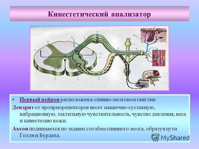 Кинестетический анализатор Первый нейрон расположен в спинно-мозговом ганглии Дендрит от проприорецепторов несет мышечно-суставную, вибрационную, тактильную чувствительность, чувство давления, веса и кинестезию кожи. Аксон поднимается по задним столб