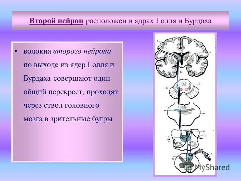 Второй нейрон расположен в ядрах Голля и Бурдаха волокна второго нейрона по выходе из ядер Голля и Бурдаха совершают один общий перекрест, проходят через ствол головного мозга в зрительные бугры