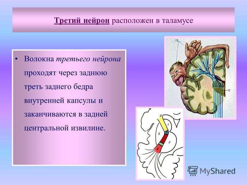 Третий нейрон расположен в таламусе Волокна третьего нейрона проходят через заднюю треть заднего бедра внутренней капсулы и заканчиваются в задней центральной извилине.