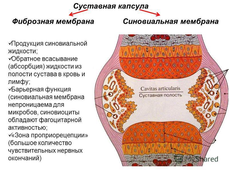 Суставная капсула Продукция синовиальной жидкости; Обратное всасывание (абсорбция) жидкости из полости сустава в кровь и лимфу; Барьерная функция (синовиальная мембрана непроницаема для микробов, синовиоциты обладают фагоцитарной активностью; «Зона п
