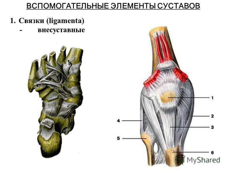 ВСПОМОГАТЕЛЬНЫЕ ЭЛЕМЕНТЫ СУСТАВОВ 1. Связки (ligamenta) - внесуставные