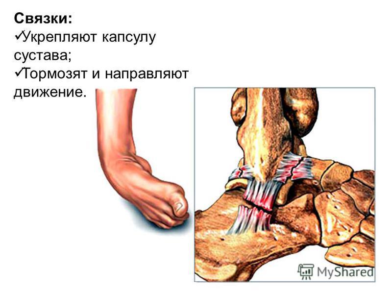 Связки: Укрепляют капсулу сустава; Тормозят и направляют движение.