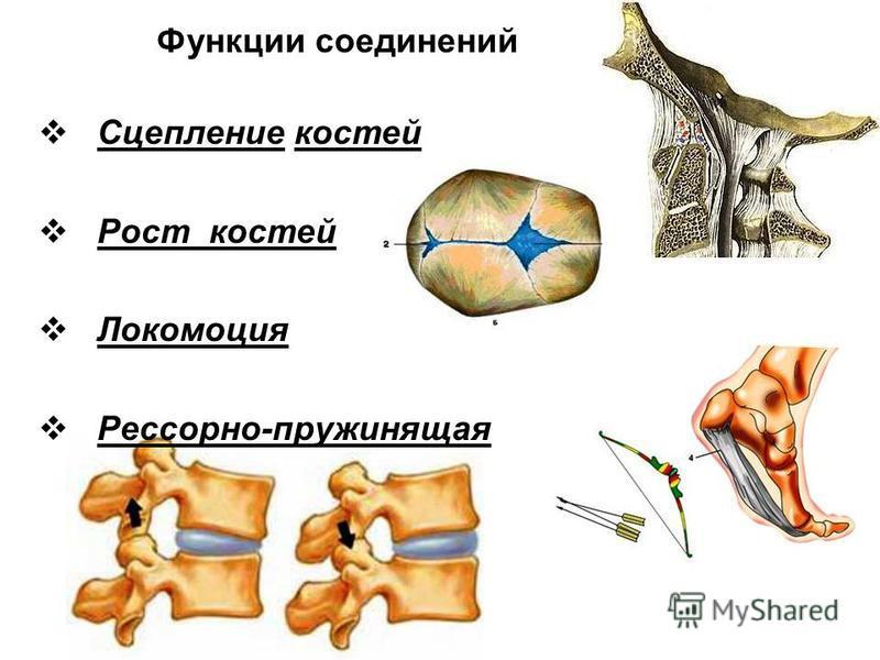Функции соединений Сцепление костей Рост костей Локомоция Рессорно-пружинящая