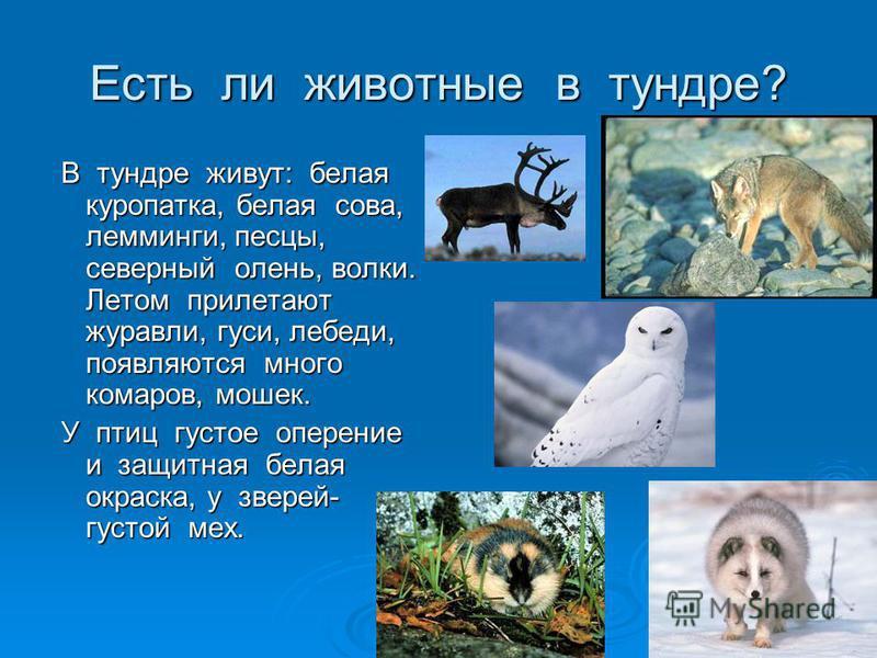 Есть ли животные в тундре? В тундре живут: белая куропатка, белая сова, лемминги, песцы, северный олень, волки. Летом прилетают журавли, гуси, лебеди, появляются много комаров, мошек. В тундре живут: белая куропатка, белая сова, лемминги, песцы, севе
