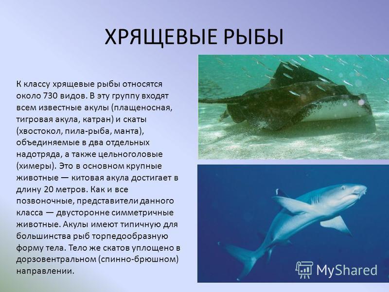 ХРЯЩЕВЫЕ РЫБЫ К классу хрящевые рыбы относятся около 730 видов. В эту группу входят всем известные акулы (плащеносная, тигровая акула, катран) и скаты (хвостокол, пила-рыба, манта), объединяемые в два отдельных надотряда, а также цельноголовые (химер