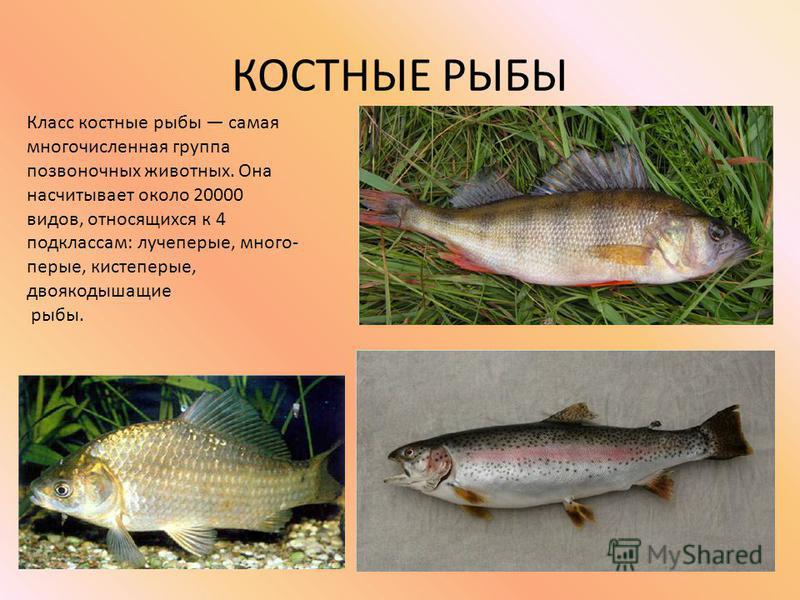 КОСТНЫЕ РЫБЫ Класс костные рыбы самая многочисленная группа позвоночных животных. Она насчитывает около 20000 видов, относящихся к 4 подклассам: лучепервые, много- первые, кистепервые, двоякодышащие рыбы.