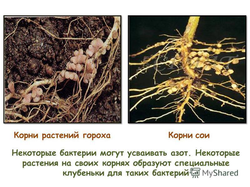 Некоторые бактерии могут усваивать азот. Некоторые растения на своих корнях образуют специальные клубеньки для таких бактерий Корни растений гороха Корни сои