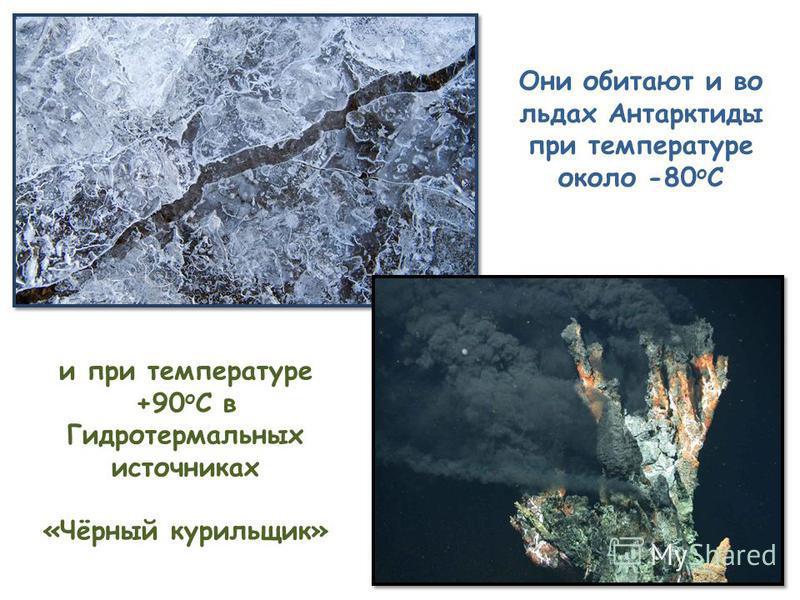 Они обитают и во льдах Антарктиды при температуре около -80 о С и при температуре +90 о С в Гидротермальных источниках «Чёрный курильщик»