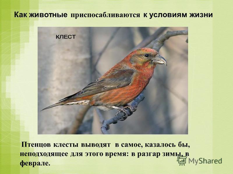 Как животные приспосабливаются к условиям жизни Птенцов клесты выводят в самое, казалось бы, неподходящее для этого время: в разгар зимы, в феврале.