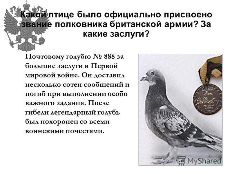 Какой птице было официально присвоено звание полковника британской армии? За какие заслуги? Почтовому голубю 888 за большие заслуги в Первой мировой войне. Он доставил несколько сотен сообщений и погиб при выполнении особо важного задания. После гибе