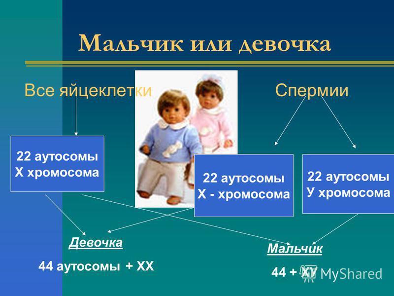 Мальчик или девочка Все яйцеклетки Спермии 22 аутосомы Х хромосома 22 аутосомы Х - хромосома 22 аутосомы У хромосома Девочка 44 аутосомы + ХХ Мальчик 44 + ХУ