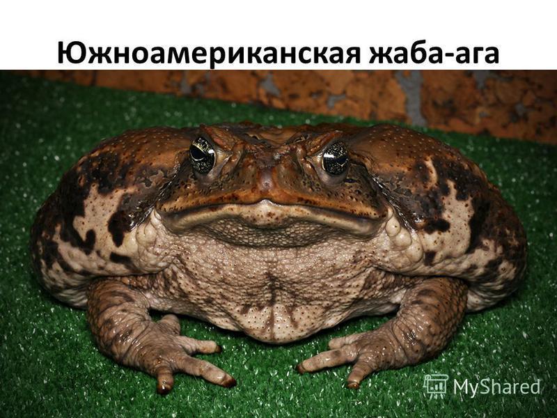 Южноамериканская жаба-ага