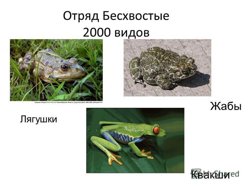 Отряд Бесхвостые 2000 видов Лягушки Жабы Квакши