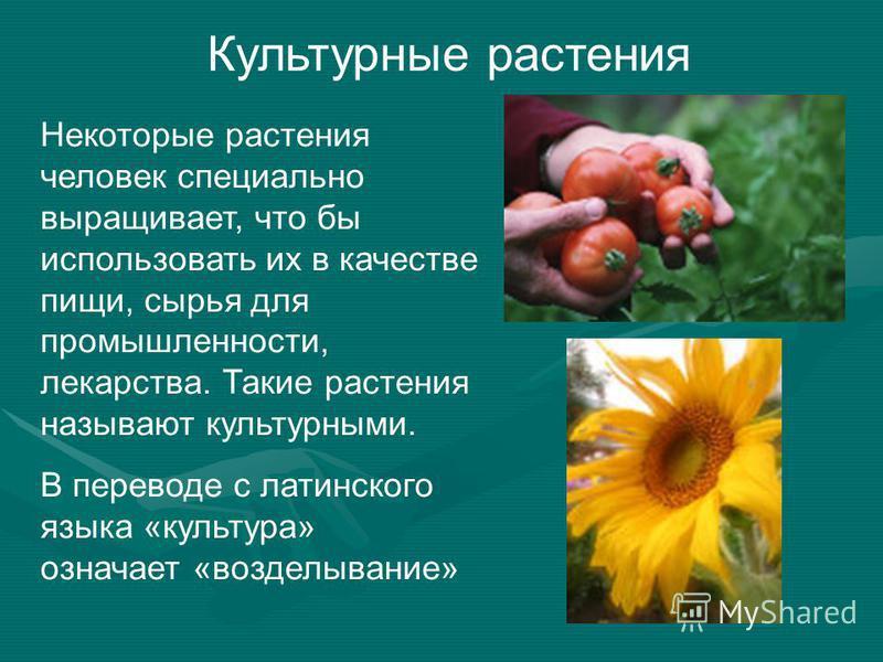 Культурные растения Некоторые растения человек специально выращивает, что бы использовать их в качестве пищи, сырья для промышленности, лекарства. Такие растения называют культурными. В переводе с латинского языка «культура» означает «возделывание»