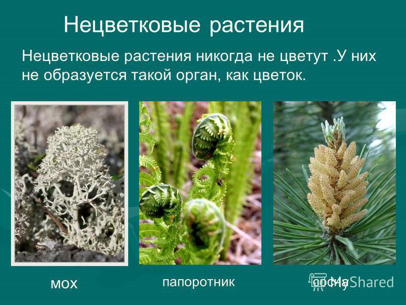 Нецветковые растения Нецветковые растения никогда не цветут.У них не образуется такой орган, как цветок. мох папоротник сосна