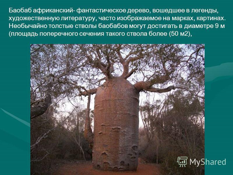 Баобаб африканский- фантастическое дерево, вошедшее в легенды, художественную литературу, часто изображаемое на марках, картинах. Необычайно толстые стволы баобабов могут достигать в диаметре 9 м (площадь поперечного сечения такого ствола более (50 м