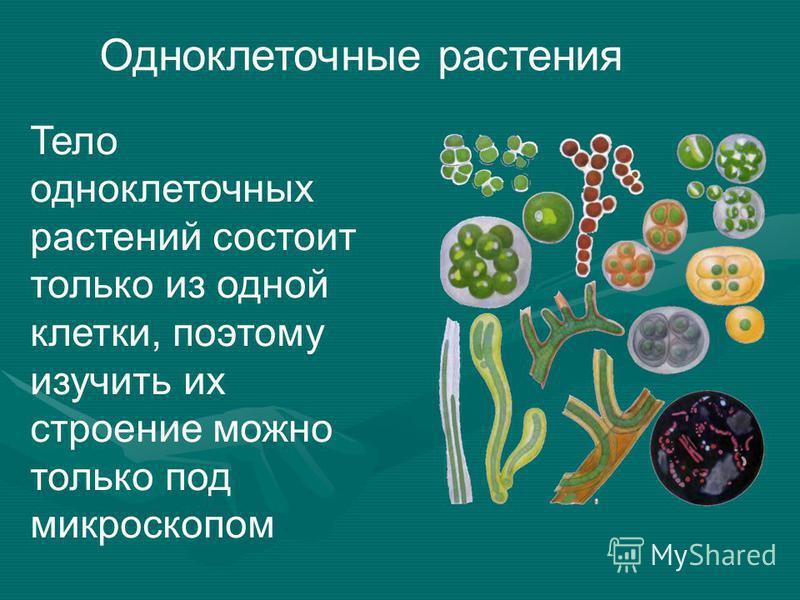 Одноклеточные растения Тело одноклеточных растений состоит только из одной клетки, поэтому изучить их строение можно только под микроскопом