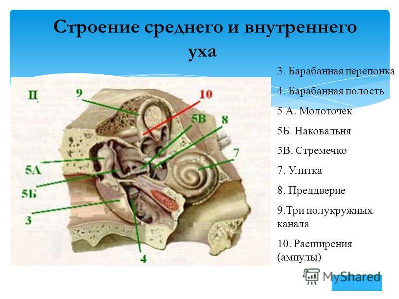 Строение среднего и внутреннего уха 3. Барабанная перепонка 4. Барабанная полость 5 А. Молоточек 5Б. Наковальня 5В. Стремечко 7. Улитка 8. Преддверие 9. Три полукружных канала 10. Расширения (ампулы)