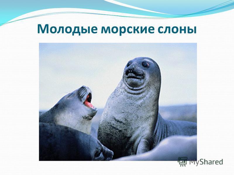 Молодые морские слоны