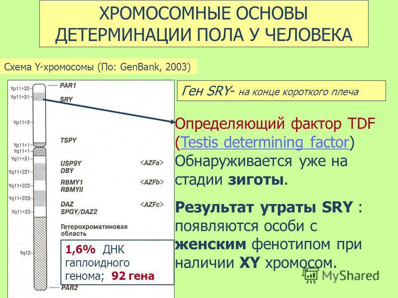 ХРОМОСОМНЫЕ ОСНОВЫ ДЕТЕРМИНАЦИИ ПОЛА У ЧЕЛОВЕКА Схема Y-хромосомы (По: GenBank, 2003) Ген SRY- на конце короткого плеча Определяющий фактор TDF (Testis determining factor) Обнаруживается уже на стадии зиготы.Testis determining factor Результат утраты