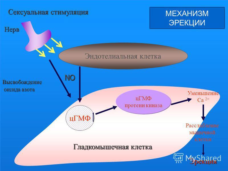 цГМФ протеин киназа Высвобождение оксида азота оксида азота Нерв Уменьшение Ca 2+ Расслабление мышечной клетки Эрекция Гладкомышечная клетка Сексуальная стимуляция Эндотелиальная клетка цГМФ NO МЕХАНИЗМ ЭРЕКЦИИ