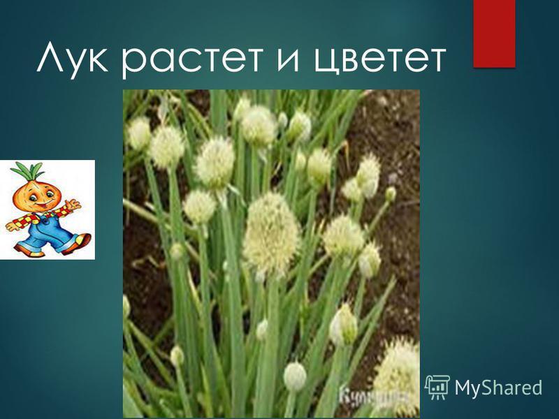 Лук растет и цветет