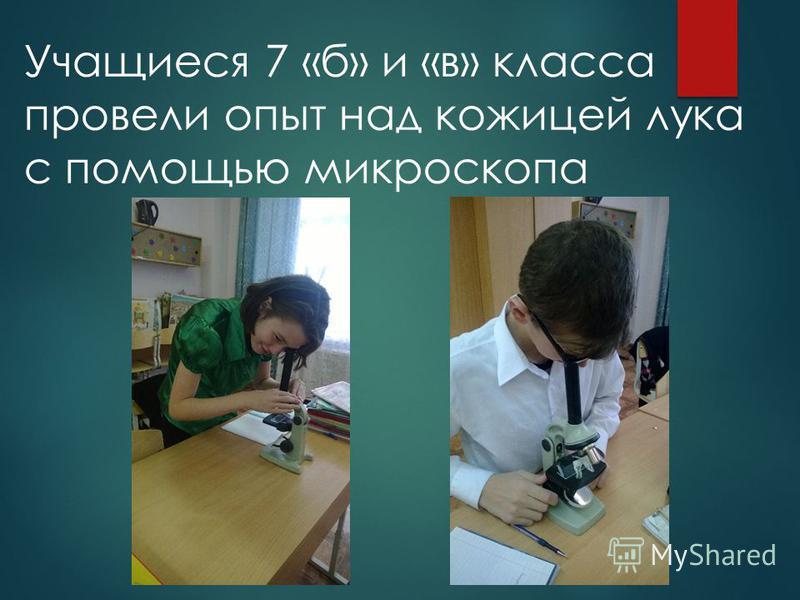 Учащиеся 7 «б» и «в» класса провели опыт над кожицей лука с помощью микроскопа