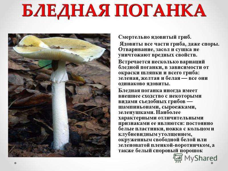 БЛЕДНАЯ ПОГАНКА Смертельно ядовитый гриб. Ядовиты все части гриба, даже споры. Отваривание, засол и сушка не уничтожают вредных свойств. Встречается несколько вариаций бледной поганки, в зависимости от окраски шляпки и всего гриба: зеленая, желтая и