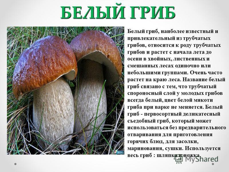 БЕЛЫЙ ГРИБ Белый гриб, наиболее известный и привлекательный из трубчатых грибов, относится к роду трубчатых грибов и растет с начала лета до осени в хвойных, лиственных и смешанных лесах одиночно или небольшими группами. Очень часто растет на краю ле