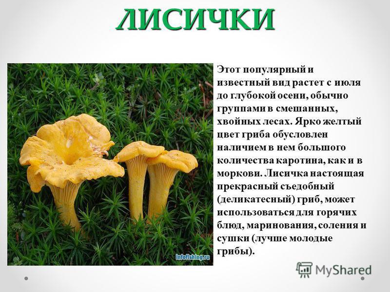 ЛИСИЧКИ Этот популярный и известный вид растет с июля до глубокой осени, обычно группами в смешанных, хвойных лесах. Ярко желтый цвет гриба обусловлен наличием в нем большого количества каротина, как и в моркови. Лисичка настоящая прекрасный съедобны