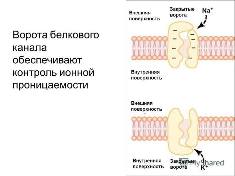 Ворота белкового канала обеспечивают контроль ионной проницаемости Внешняя поверхность Внутренняя поверхность Закрытые ворота