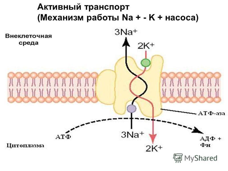 Активный транспорт (Механизм работы Na + - K + насоса)