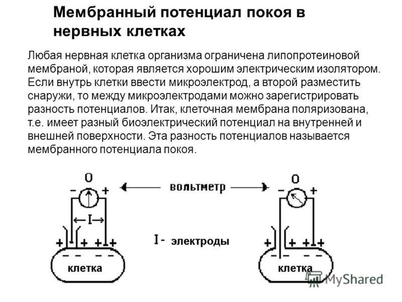 Любая нервная клетка организма ограничена липопротеиновой мембраной, которая является хорошим электрическим изолятором. Если внутрь клетки ввести микроэлектрод, а второй разместить снаружи, то между микроэлектродами можно зарегистрировать разность по