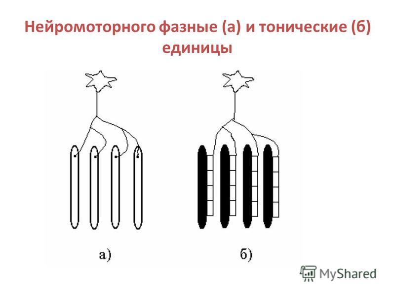 Нейромоторного фазные (а) и тонические (б) единицы