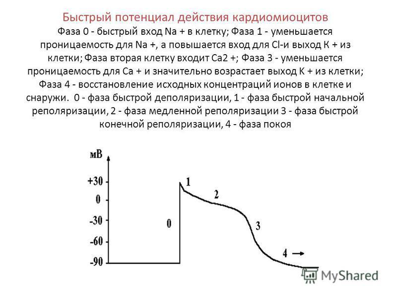 Быстрый потенциал действия кардиомиоцитов Фаза 0 - быстрый вход Na + в клетку; Фаза 1 - уменьшается проницаемость для Na +, а повышается вход для Сl-и выход К + из клетки; Фаза вторая клетку входит Са 2 +; Фаза 3 - уменьшается проницаемость для Ca +